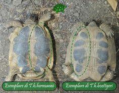 Nelle T.h.h. il piastrone si presenta marcato con una colorazione divisa in due barre longitudinali ininterrotte, che appaiono uniformi e ben definite, mentre nelle T.h.b. avviene proprio l'opposto: piastrone con colorazione nera irregolare, spezzetata e sbiadita (nelle T.h.h. ciò può avvenire solo nei vecchi esemplari)