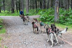 Travis Beals working with his team on one of his summer dog sled tours in Seward, Alaska at Turning Heads Kennel