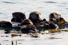 A raft of fuzzy sea otters in a kelp bed - January 15, 2013
