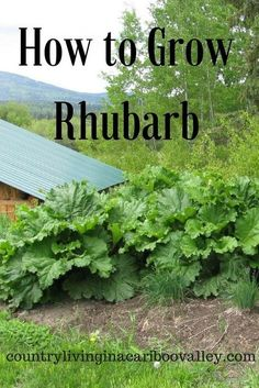 How to Grow Rhubarb Plant it once in a Northern Garden and it will come back every year. Rhubarb is great for jams or fruit crisps and healthy too! The post How to Grow Rhubarb appeared first on Garden Diy. Fruit Garden, Edible Garden, Garden Plants, Organic Vegetables, Growing Vegetables, Vegetables Garden, Growing Tomatoes, Growing Rhubarb, How To Grow Rhubarb