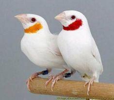 White mutation cut throat finches
