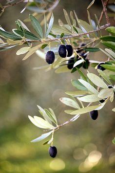 Love olive trees.