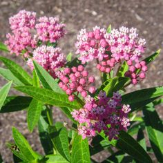"""Want to help monarch butterflies? Be careful when selecting your milkweed. Not all plants that go by the common name of """"milkweed"""" are the food that these butterflies need. Want to save… Butterfly Weed, Monarch Butterfly, Butterfly Colors, Butterflies, Swamp Milkweed, Milkweed Plant, All Plants, Garden Plants, Flowering Plants"""