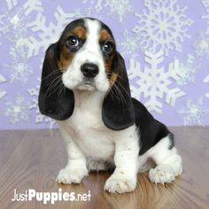Free Puppies For Sale Orlando Fl
