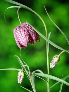 Snakeshead Fritillary - Fritillaria Meleagris. Spring flowering bulb for meadows. Likes sun. Sometimes purple, sometimes white. Wild flower. Looking lovely at Great Dixter at the moment.