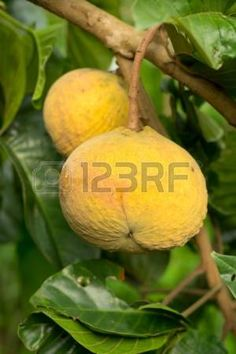 Santol Tree Stock Photos And Images Fruit Names, Royalty Free Images, Stock Photos, Copyright Free Images