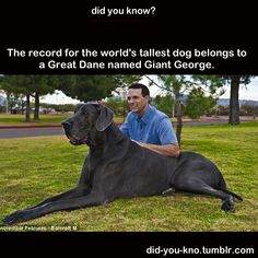 """DOG:  Giant George is the world's tallest living blue Great Dane dog.  He was born 11/17/05, is 43"""" high at the withers and weighs 245 pounds."""