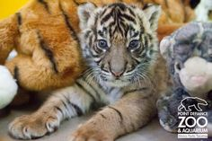 He obviously knows what's cute, and what's cute are baby tigers.
