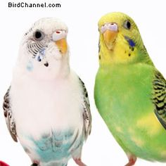 Want to learn more about parakeets/budgies? Check out this BirdChannel budgie FAQ.