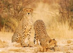 Cats in the Kalahari