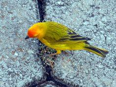 O canário-da-terra(Sicalis flaveola) é uma ave silvestre originária da América do Sul. A ave cabe na palma da mão, mas tem um canto potente que pode soar longe e é muito valorizado. Entre os filhotes machos, as primeiras notas já podem ser ouvidas aos quatro meses de idade.
