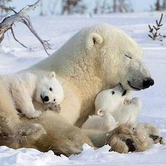 Polar bear with cubs Nature Animals, Animals And Pets, Wild Animals, Cute Baby Animals, Funny Animals, Niedlicher Panda, Cute Polar Bear, Polar Bear Cubs, Grizzly Bears