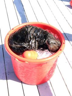Sea otter spends a hot afternoon in a bucket of ice - May 29, 2015