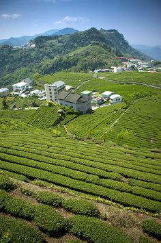 Tea Garden Of Alishan, Taiwan | Photo by IMAGEMORE Co, Ltd. with Pin-It-Button on FineArtAmerica