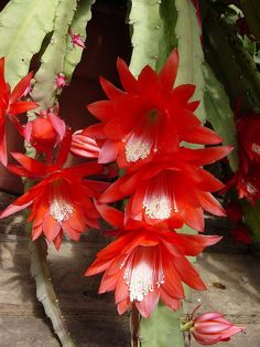 Pretty Red Cactus Flowers
