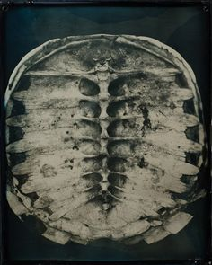 Daguerrotype photograph of a snapping turtle spine by Robin Dreyer