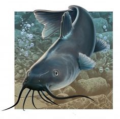 Catfish (Print) by Valerian Ruppert