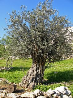 An ancient olive tree in Nazareth Village, near the town of Nazareth, in the Holy Land
