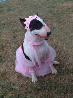 gone but not forgotten/ Love this girl xxx Mini Bull Terriers, Miniature Bull Terrier, English Bull Terriers, Like Animals, Baby Animals, Perros Bull Terrier, Cat Birthday, Cute Gif, Reaction Pictures