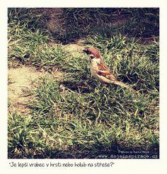 Vrabec nebo holub?