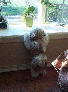 Moodle Maltese X Poodle Cross Shih Tzu 10 Weeks Old Puppy Love
