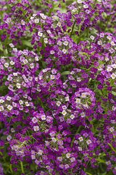 """The more sun the better for the newest lobularia from Proven Winners. Dark Kinght Lobularia has purple blooms that will appear all summer long on a plant that is cool tolerant, and will last even through a few early frosts. Tremendous in the landscape and containers. Will reach a height of 10-15"""" and will spread up to 36""""."""