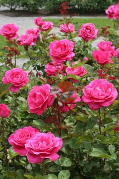 Uploaded by Patty. Find images and videos about pink, roses and garden on We Heart It - the app to get lost in what you love. Beautiful Rose Flowers, Rare Flowers, Exotic Flowers, Baby Boy Dress, Rosa Rose, Colorful Roses, Rose Wallpaper, All Plants, Botanical Gardens