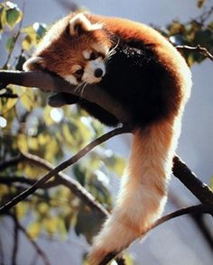 Red Panda. These things are so cute! Once at the zoo, my Grampy was saying we wont see them, they're always too high up in the trees. As he was looking for them in the trees, two climbed down, ran up to the glass viewing panel in right front of us, put their paws up on it, and stared at us.