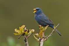 A male Blue Finch (Porphyrospiza caerulescens) photographed by Rodrigo Conte at Altiplano Leste, Brasilia, Brazil