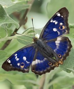 """June 30: """"You never forget your first encounter with a purple emperor. Nor is a single encounter sufficient. And with good reason: Britain's joint largest butterfly is unequivocally its most powerful, soaring over high treetops then exploding groundwards. Honouring the purple empire is an unmissable day in your summer of British wildlife."""" A Summer of British Wildlife; www.bradtguides.com #100dayswild"""