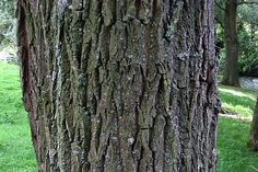 white willow bark...pain relief form lower back, joints, cramps, lupus, fever, flu