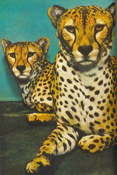 Cheetas, National Geographic