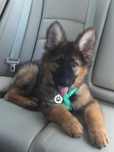 GSD Puppy #germanshepherd
