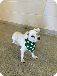 URGENT!  I am at a kill shelter in Troy, OH - Shih Tzu Mix. Meet Biscuit, a dog for adoption. http://www.adoptapet.com/pet/12568548-troy-ohio-shih-tzu-mix