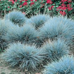 Wide selection of perennial ornamental grasses for sale. Tall and dwarf grasses. Pampas Grass, Miscanthus, Fescue and more. Fescue Grass, Blue Fescue, Perrenial Grasses, Landscaping Plants, Garden Plants, Grass For Sale, Silver Plant, Moon Garden, Garden Bed