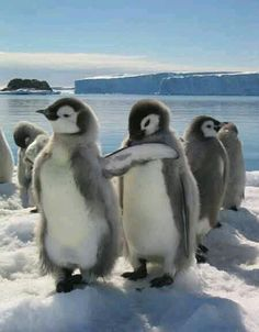 I penguin love l Animals And Pets, Baby Animals, Funny Animals, Cute Animals, Cute Creatures, Beautiful Creatures, Beautiful Birds, Animals Beautiful, Penguin Love