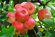 Growing miniature fruit trees and non-native plants, even tropical fruit trees, IS possible on your homestead, no matter where you live – and should be! Apple Fruit, Red Apple, Apple Plant, Miniature Fruit Trees, Apple Varieties, Fruit Seeds, Tree Care, Garden Guide, Apple Tree