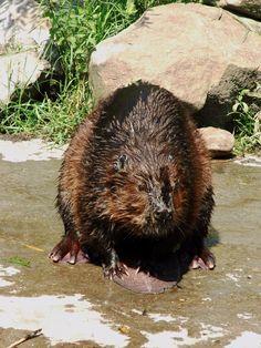 Bever - Eurasian beaver (Castor fiber) - Dierenrijk Europa - Nuenen - the Netherlands - 19-7-2016