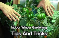 Indoor Winter Gardening Tips and Tricks A Must Have In Case The SHTF. Free tips on how to grow food indoors over the winter.