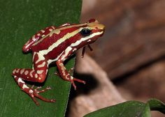 The Phantasmal Poison Frog is one of the most toxic frogs on the planet. Their poison is 200 times stronger than morphine and you can easily overdose by touching them.