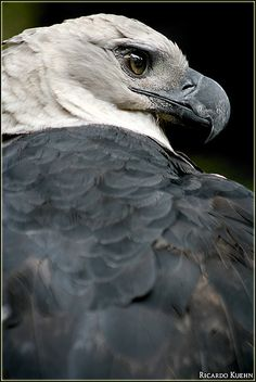 Harpy Eagle, considered the larget of the eagles, wtih wing spans approaching ten feet. Incredible strength, able to literally pierce the skulls of the monkeys upon it mainly preys.  But, no animal under even fifty pounds is safe from this incredible successful hunter/killer.