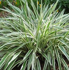 Atrium dry creek.     Full Sun Plant - variegated flax lily. LOVE@                                                                                                                                                      More