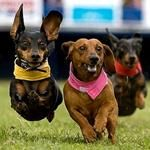 Bucket list for Lou (and I). Weiner dog races at Goldengate Fields!!! Yessssd