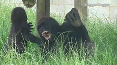 Gently Does It! Finally Gorilla Lope And Baby Brother Together!