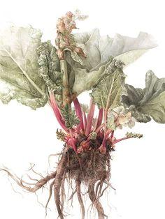 Learn botanical art from Elaine Searle, award-winning artist and tutor. I offer online tuition, workshops and botanical art holidays. Art And Illustration, Floral Illustrations, Botanical Drawings, Botanical Prints, Watercolor Flowers, Watercolor Art, Gravure Photo, Illustration Botanique, Fauna
