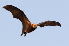 Opinion: Killing Thousands of Flying Foxes Only Hurts the Environment