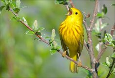 """""""For the Love of Song"""" this Yellow Warbler sings its heart out. 