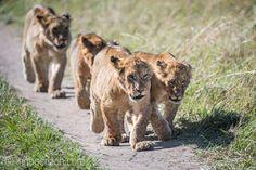 Fat Boys. | Lions after breakfast. | Masai Mara. | Kenya. |  More: www.ingogerlach.com