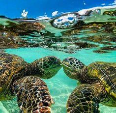 Sea Turtle Kiss