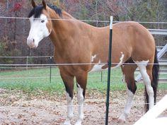 American Paint Horse Stallion One Hot Heathen. Love this horse's markings.